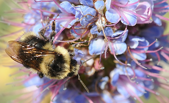 Top view of a Bombus melanopygus on an Echium candicans, also known as the Pride of Madeira. (Photo by Kathy Keatley Garvey)