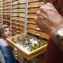 The butterfly collection at the Bohart Museum is a popular attraction, but the Bohart will be closed to the public until April 6. (Photo by Kathy Keatley Garvey)
