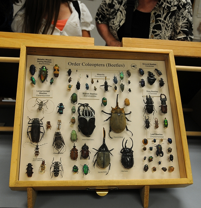 Beetle display at the Bohart Museum of Entomology. (Photo by Kathy Keatley Garvey)