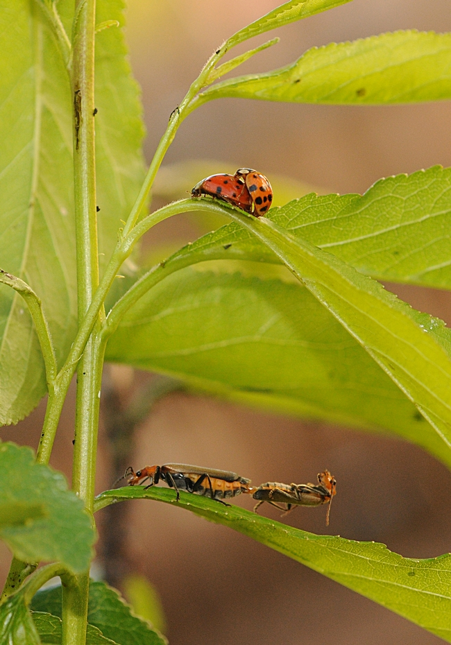Ladybugs and soldier beetles--along with their prey, aphids--on a plum tree. (Photo by Kathy Keatley Garvey)