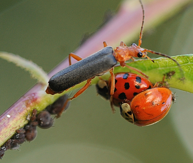 Fast-moving soldier beetle crawls toward a pair of ladybugs on a plum tree. (Photo by Kathy Keatley Garvey)
