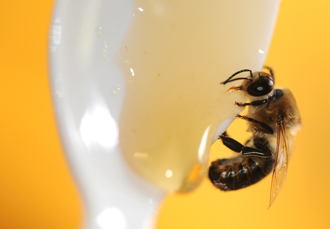 Drone sipping honey at the Harry H. Laidlaw Jr. Honey Bee Research Facility. (Photo by Kathy Keatley Garvey)