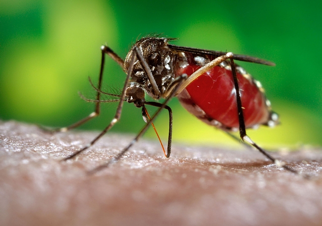 The dengue mosquito, Aedes aegypti. (Photo courtesy  of James Gathany, Centers for Disease Control and Prevention).