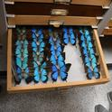 Swallowtail butterflies at the Bohart Museum of Entomology. Entomologist Jeff Smith, curator of the Lepidoptera section, says these are the Ulysses swallowtail – Papilio ulysses – that were collected in New Guinea, mostly by senior museum scientist Steve Heydon.