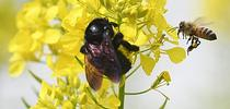 A honey bee comes faces to face with a Valley carpenter bee on a mustard blossom. The Valley carpenter bee is native to the United States, while the honey bee is native to Europe. (Photo by Kathy Keatley Garvey) for Bug Squad Blog