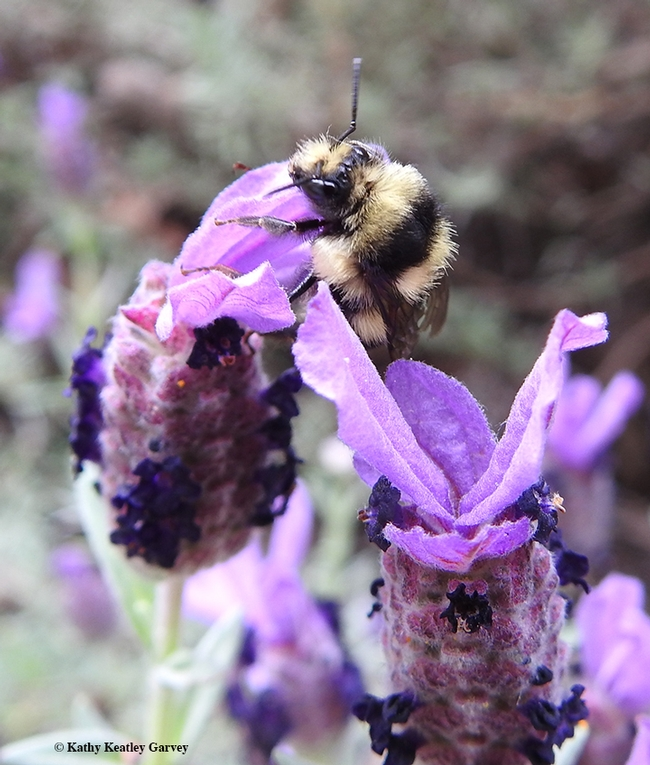 Time to forage! The Bombus melanopygus peers investigages a Spanish lavender in a Vacaville park. (Photo by Kathy Keatley Garvey)