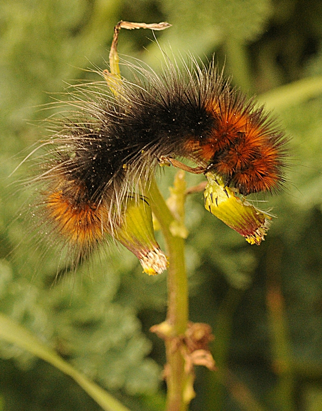 A woolly bear caterpillar munching on foliage at the Bodega Head. (Photo by Kathy Keatley Garvey)