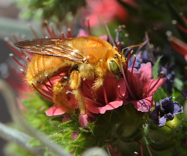 Close-up of the male Valley carpenter bee (Xylocopa varipuncta) on tower of jewels (Echium wildpretii). (Photo by Kathy Keatley Garvey)