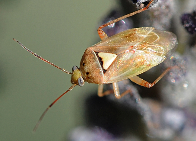 Lygus bug (Lygus herperus) could be one of the insects studied in the honors program. (Photo by Kathy Keatley Garvey)
