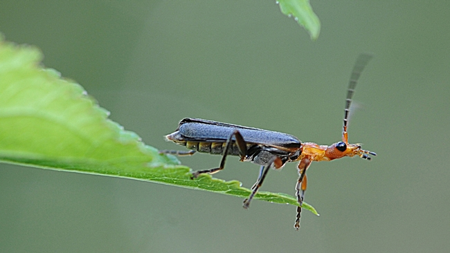Soldier beetle (family Cantharidae) runs out of room. (Photo by Kathy Keatley Garvey)