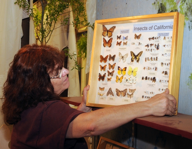 Kathy Hicks of Dixon, superintendent of the Floriculture Building, displays insects from the Bohart Museum of Entomology. (Photo by Kathy Keatley Garvey)