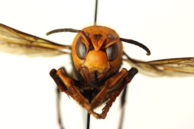 This is the Asian giant hornet, Vespa mandarinia, that was detected and destroyed on Vancouver Island, British Columbia, in September 2019. (Photo courtesy of the Washington State Department of Agriculture)