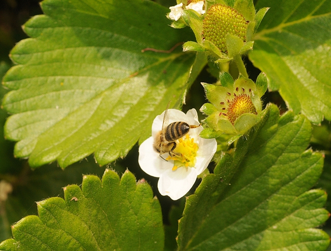 Honey bee foraging on strawberry plant in Haagen-Dazs Honey Bee Haven. (Photo by Kathy Keatley Garvey)