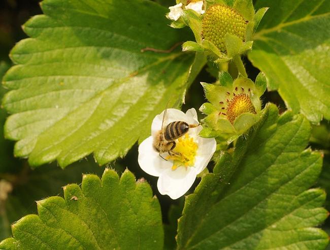 Honey bee foraging on strawberry plant in Haagen-Dazs Honey Bee Haven. (Photo by Kathy Keatley Garvey)