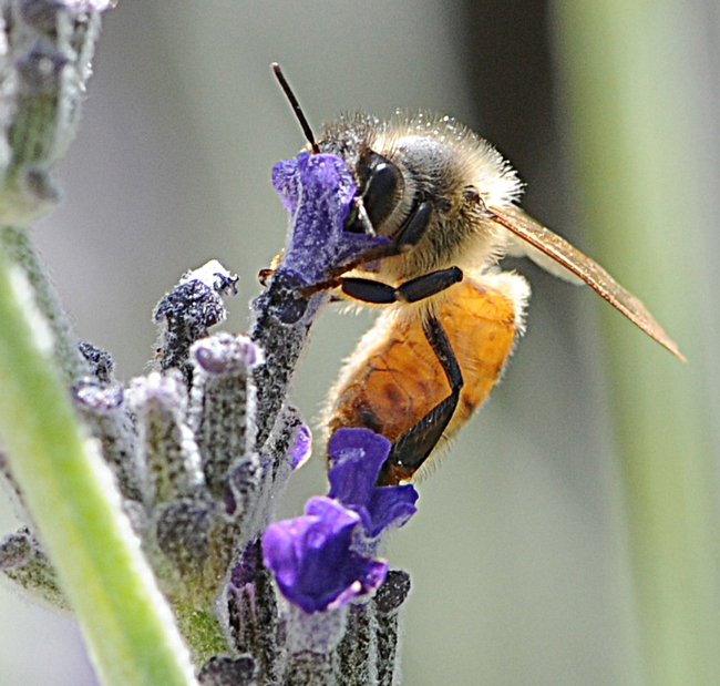 Italian honey bee foraging on lavender. (Photo by Kathy Keatley Garvey)