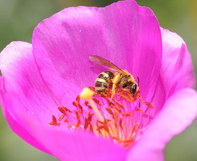 Sweat bee (genus Lasioglossum) visiting rock purslane. (Photo by Kathy Keatley Garvey)