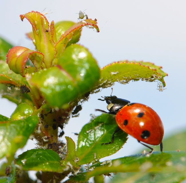 Ladybug, aka lady beetle, chasing aphids. (Photo by Kathy Keatley Garvey)