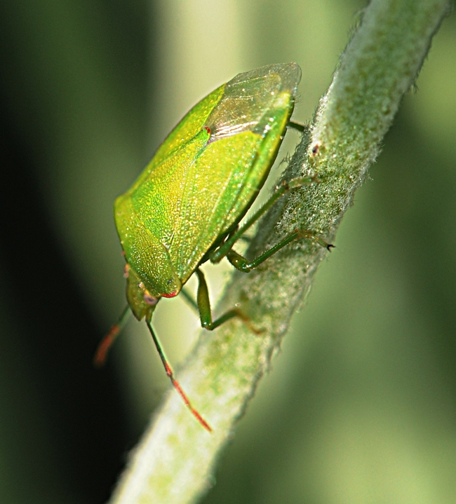 Stink bug scoots down a stem. (Photo by Kathy Keatley Garvey)