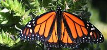 A male monarch, Danaus plexippus, spreads its wings on a tower of jewels (Echium wildpretii) in Vacaville, Calif. on Sunday, May 23. (Photo by Kathy Keatley Garvey) for Bug Squad Blog