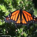 A male monarch, Danaus plexippus, spreads its wings on a tower of jewels (Echium wildpretii) in Vacaville, Calif. on Sunday, May 23. (Photo by Kathy Keatley Garvey)