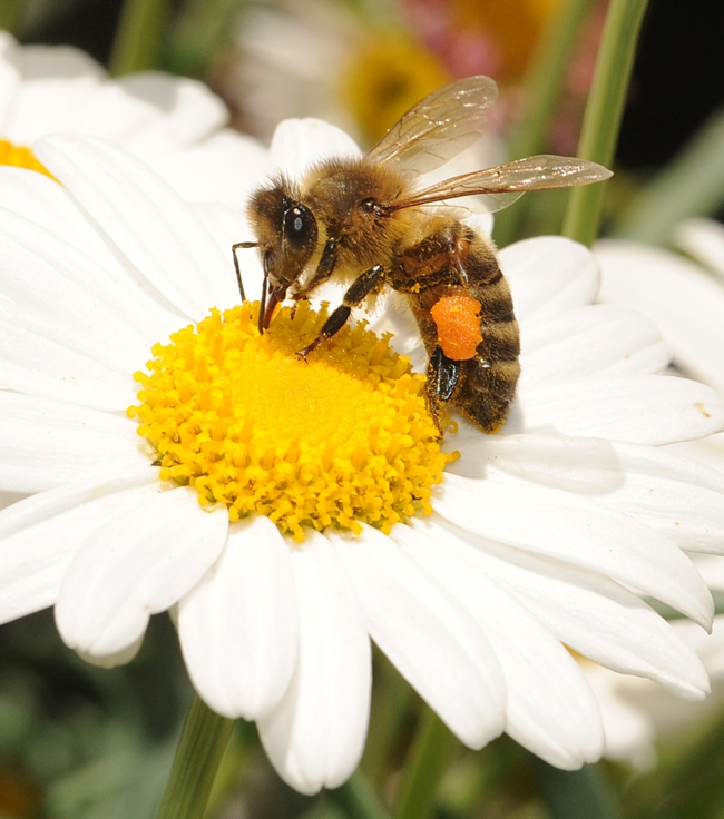 Honey bee foraging on a daisy. (Photo by Kathy Keatley Garvey)