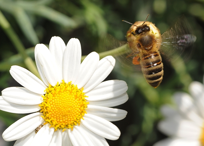 Buzzing away, the honey bee leaves the daisy. (Photo by Kathy Keatley Garvey)