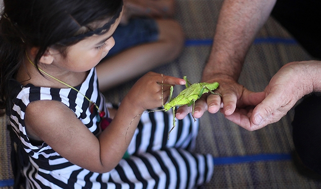 An Australian walking stick (stick insect) gets some attention at a SaveNature.Org program.  (Photo by Norm Gershenz)