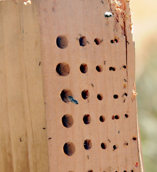 A female leafcutting bee heads for the bee nesting block. The holes are of different diameters and depths to attract a greater diversity of native bees.(Photo by Kathy Keatley Garvey)