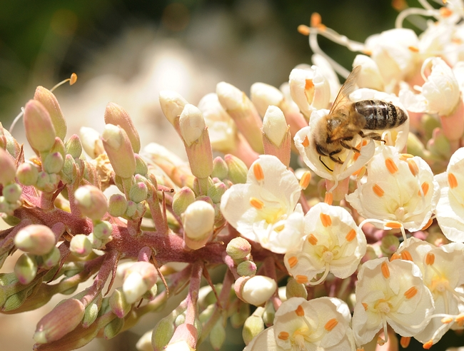 Honey bee foraging on buckeye blossoms. (Photo by Kathy Keatley Garvey)