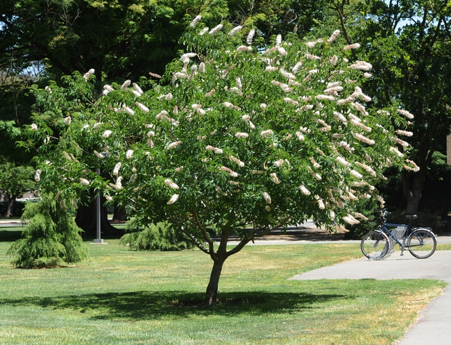 California buckeye in bloom behind Hoagland Hall at UC Davis. (Photo by Kathy Keatley Garvey)