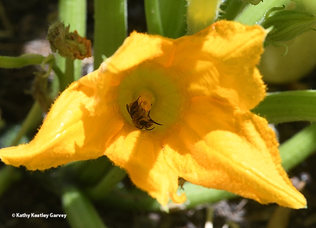 What's pollinating the squash blossom? A squash bee, Peponapis pruinosa, a species of solitary bee in the tribue Eucerini. (Photo by Kathy Keatley Garvey)