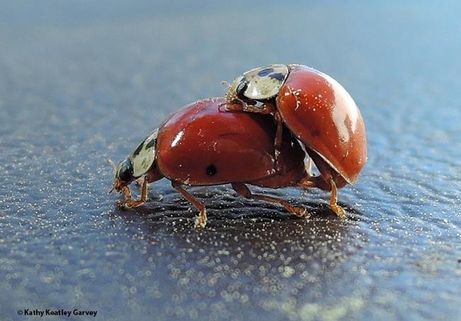 Birds do it. Bees do it. So do lady beetles, aka ladybugs. (Photo by Kathy Keatley Garvey)
