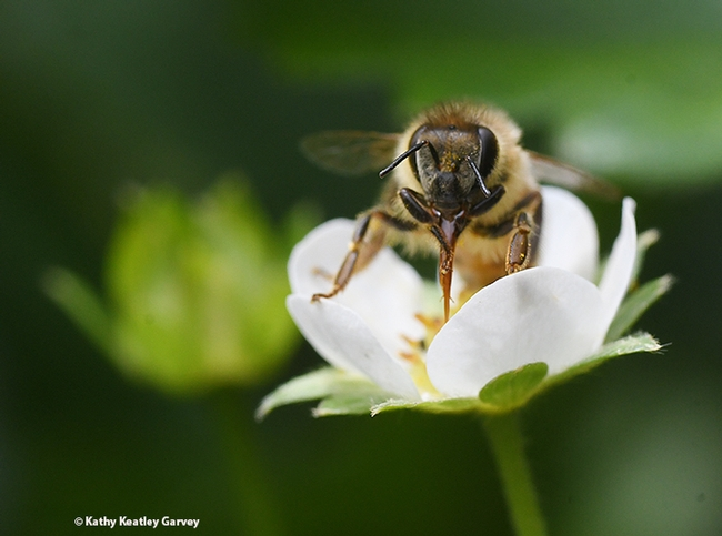 The honey bee stops to clean her tongue. (Photo by Kathy Keatley Garvey)