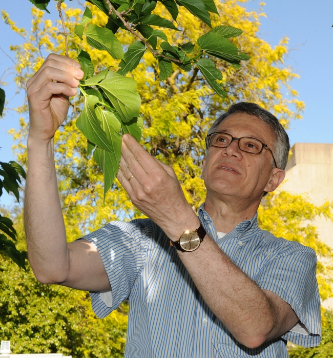 UC Davis professor Walter Leal, who does pheromone research on silkworm moths, examines a mulberry tree. (Photo by Kathy Keatley Garvey)