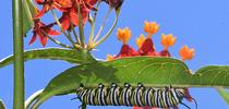 Peek a bee! A honey bee forages on tropical milkweed blossoms while a monarch caterpillar chows down. (Photo by Kathy Keatley Garvey) for Bug Squad Blog
