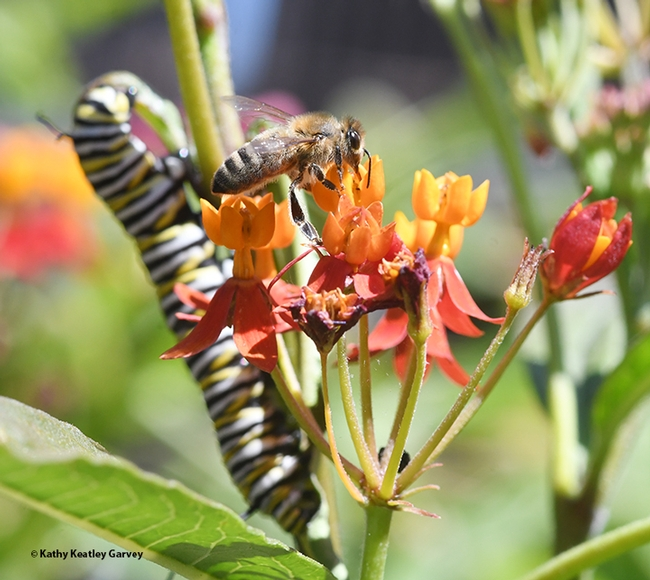 Close quarters: a honey bee and a monarch caterpillar on tropical milkweed. (Photo by Kathy Keatley Garvey)