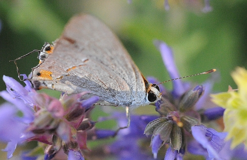 The gray hairstreak butterfly (Strymon melinus) is mostly gray. Fine gray hairlike markings cross the undersurface of the hing wings. The threadlike tail projections resemble antennae. (Photo by Kathy Keatley Garvey)