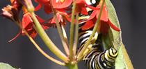 A monarch caterpillar feasting on a tropical milkweed, Asclepias curassavica, in Vacaville, Calif. (Photo by Kathy Keatley Garvey) for Bug Squad Blog