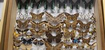 You will learn about amazing moths at the Bohart Museum of Entomology's Virtual Moth Open House from 1 to 2 p.m., Saturday, July 25. (Photo by Kathy Keatley Garvey) for Bug Squad Blog
