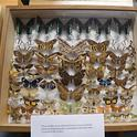 You will learn about amazing moths at the Bohart Museum of Entomology's Virtual Moth Open House from 1 to 2 p.m., Saturday, July 25. (Photo by Kathy Keatley Garvey)