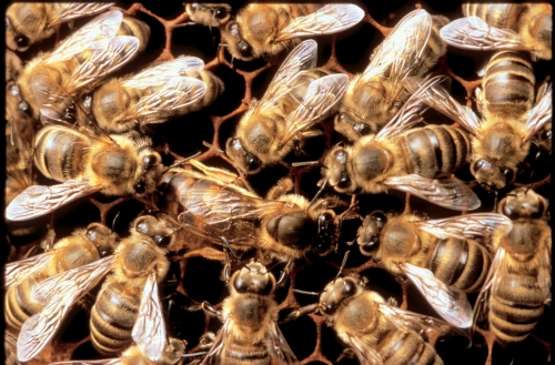 The queen bee (the largest bee, center) is surrounded by her court, the worker bees, who take care of her every need. They feed her, groom her and protect her