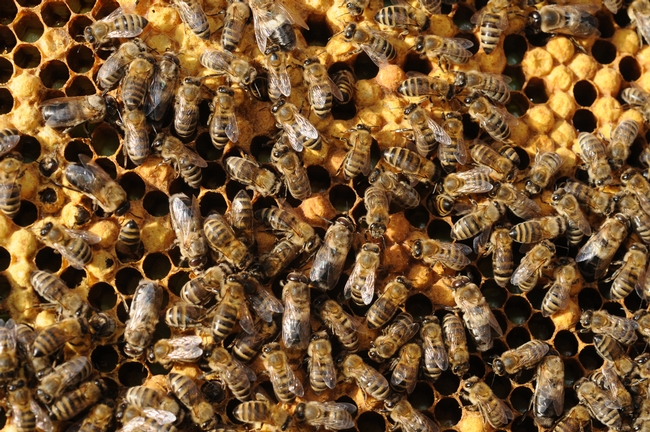 Honey bees working a hive at the University of California, Davis.. (Photo by Kathy Keatley Garvey)