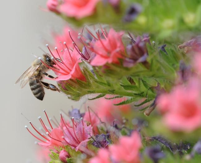 Honey bee near the Harry H. Laidlaw Jr. Honey Bee Research Facility, UC Davis. (Photo by Kathy Keatley Garvey)