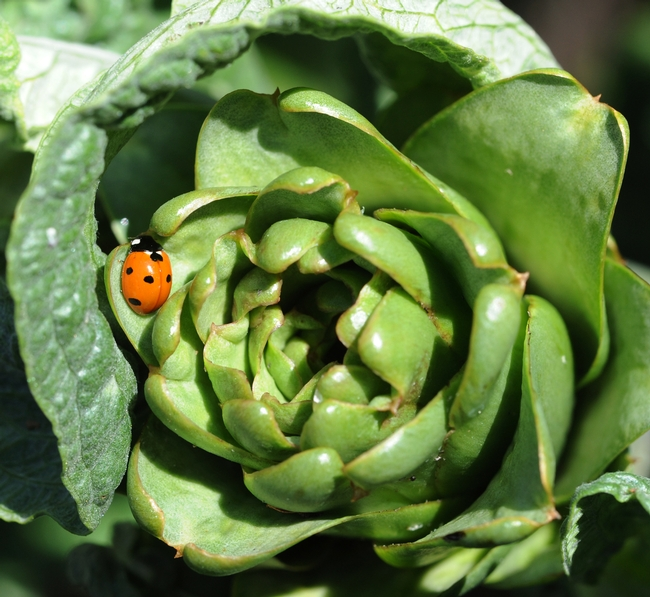 Ladybug looking for food on an artichoke. (Photo by Kathy Keatley Garvey)