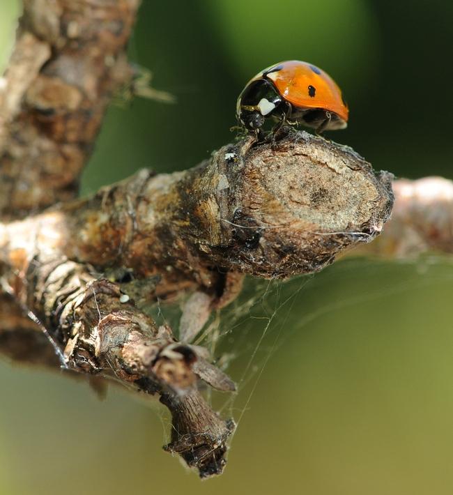 Ladybug munching aphids on the limb of a nectarine tree. (Photo by Kathy Keatley Garvey)