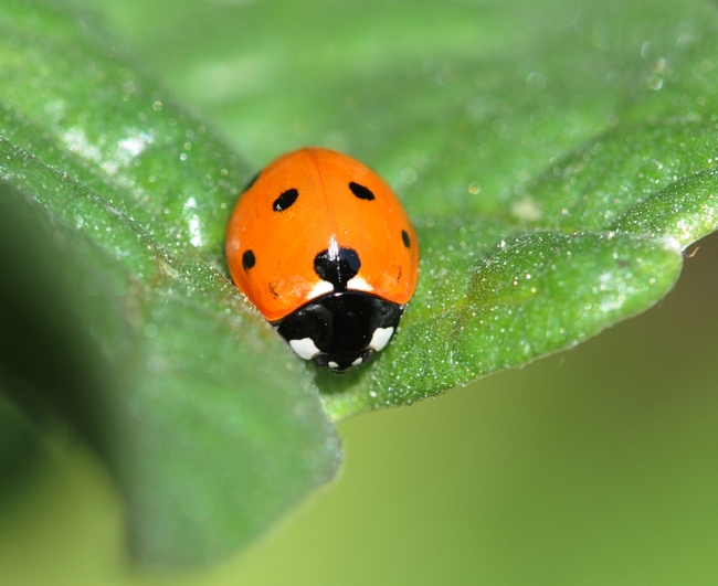 Ladybug looking for aphids in all the right places. (Photo by Kathy Keatley Garvey)