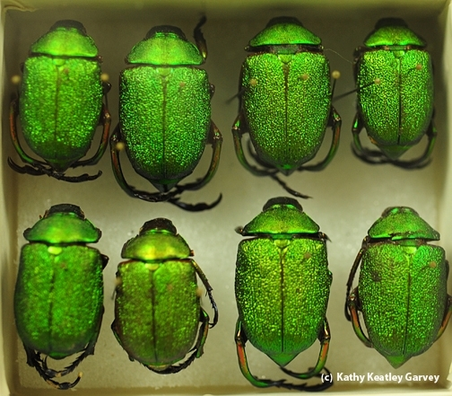 These jewel beetle specimens are a big draw at the Bohart Museum of Entomology at UC Davis. (Photo by Kathy Keatley Garvey)