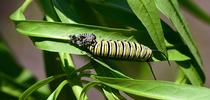 A monarch caterpillar molting. (Photo by Kathy Keatley Garvey) for Bug Squad Blog