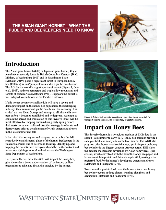 Washington State University Extension has published this updated fact-sheet on the Asian giant hornet,  Vespa mandarinia.
