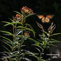 A monarch butterfly, looking like a stained glass window, rises from a tropical milkweed, Asclepias curassavica, on Aug. 7 in Vacaville, Calif. (Photo by Kathy Keatley Garvey)